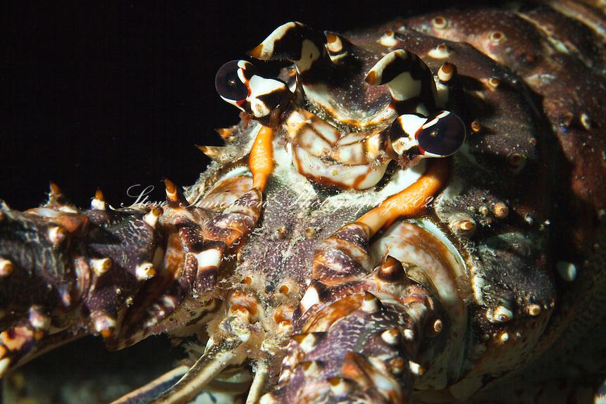 Caribbean Spiny Lobster (Panulirus argus)<br /> U.S. Virgin Islands