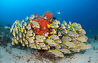 A tightly packed school of Ribbon Sweetlips, Plectorhinchus polytaenia, hovers in formation near a coral bommie. Raja Ampat, Indonesia, Pacific Ocean