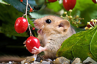 Common Dormouse (Muscardinus avellanarius) eating berry, Normandy, France