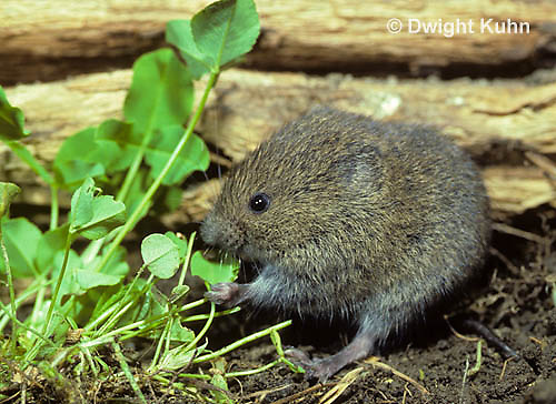 MU30-250z   Meadow Vole - eating leaves - Microtus pennsylvanicus