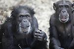 Foto: VidiPhoto<br /> <br /> ARNHEM - Zich niet bewust van het 'onheil' dat hem vrijdag boven zijn hoofd hangt, is chimpanseeman Fons (l) donderdag de rust zelve. Het 41-jarige mannetje gaat vrijdag onder het mes om een sterilisatie uit 2002 ongedaan te maken. Inderdaad werd gedacht dat Fons niet raszuiver was, maar met de huidige DNA-technieken is ontdekt dat de ontmande chimp wel degelijk tot de Westelijke ondersoort behoort, waarmee Burgers' Zoo wil fokken. Nageslacht van Fons is daarom zeer wenselijk, temeer omdat hij na de operatie -als die slaagt- de enige fokman is. Uniek is dat de operatie wordt uitgevoerd door urologen van ziekenhuis Rijnstate. Zij hebben beroepshalve veel ervaring met operatie aan de zaadleiders. Chimpansees zijn nauw verwant aan mensen.