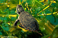 1R13-055z  Painted Turtle -young turtle swimming under water - Chrysemys picta