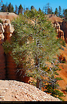 Pinyon Pine, Fairyland Canyon, Bryce Canyon National Park, Utah
