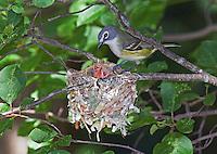 Blue-headed Vireo, Vireo solitarius, adult at nest, June (Michigan)