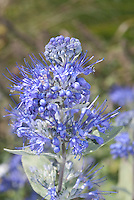 Caryopteris blue flowers