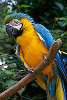 Blue and Yellow Macaw or Blue and Gold Macaw (Ara ararauna) at the Macaw Mountain Bird Park, Copan, Honduras