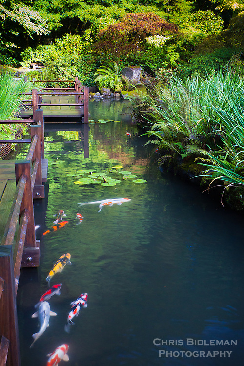 Koi fish swimming in pond along zig zag bridge chris for Japanese koi water garden