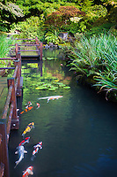 Zig Zag bridge (yatsuhashi) and koi fish (Cyprinus carpio) in strolling lower pond garden of Portland Japanese Garden