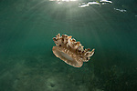 Upside-down jellyfish (Cassiopea andromeda)