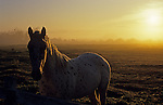 Sunrise with silhouetted horses in field by fence looking into camera