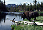 bison near Firehole River in Yellowstone NP