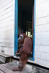 Bornean Orangutan (Pongo pygmaeus wurmbii) - Siswi the Queen of the jungle of Camp Leakey
