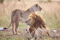Lion and lioness resting in the sun in grassland savanna in the Masai Mara Reserve, Kenya, Africa (photo by Wildlife Photographer Matt Considine)