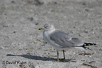 0711-0808  Ring-billed Gull, Larus delawarensis © David Kuhn/Dwight Kuhn Photography