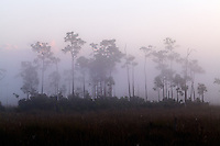A stand of pine trees looms out of the pre-dawn fog on the sawgrass prairie of Everglades National Park, Florida.