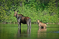 &quot;Moose with Calf&quot;<br />