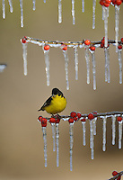 Lesser Goldfinch (Carduelis psaltria), adult male perched on icy branch of Possum Haw Holly (Ilex decidua) with berries, Hill Country, Texas, USA