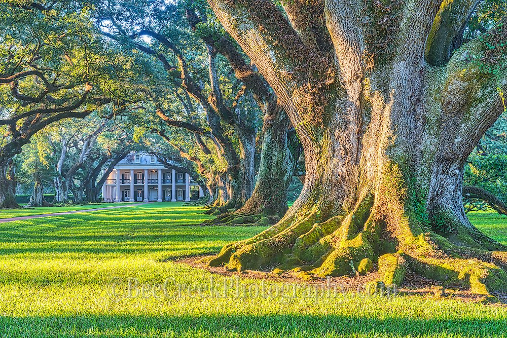 Another large live oak tree with their masses root system just as the sun comes up in Oak Alley Plantation.  You can see the canopy of limbs that engulf the walkway along with the mansion in the background on this morning as the morning sun jsut begins to highlight the grounds and the trees large trunk and roots system to get a feel for their massive size of these 300 year old trees.
