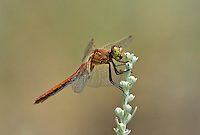 362700032 a wild male band-winged meadowhawk sympetrum semicintum perches on a flowering plant in mono county california