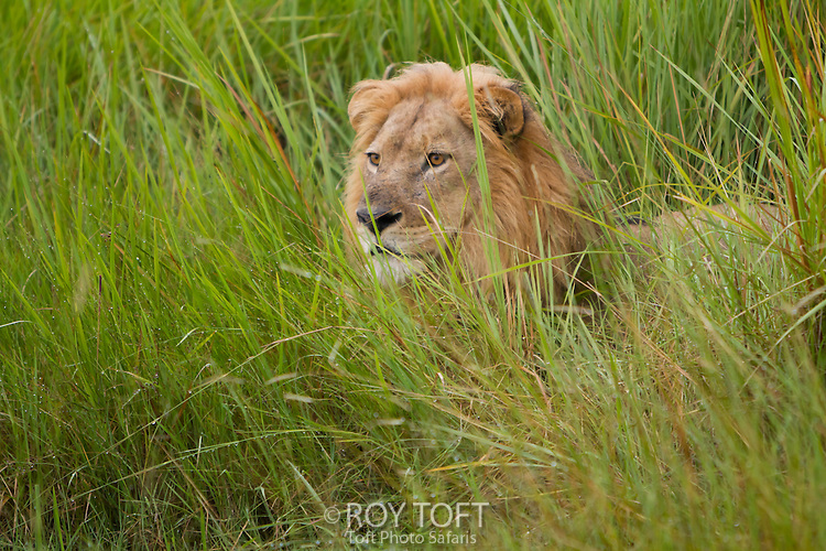 An African lion in the tall grass, Botswana, Africa