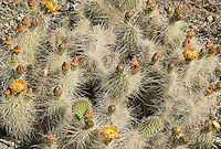 161260003 a wild mojave prickly pear cactus opuntia polycantha var erinacea produces large bright yellow flowers in the wash at darwin falls in owens valley inyo county california united states