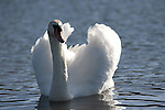 Mute Swan, Cygnus olor, Kent UK, siwmming on water, Leeds Castle grounds