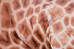 Detail of reticulated giraffe side, Kenya