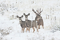 Mule deer (Odocoileus hemionus)trophy buck with does in heavy snow