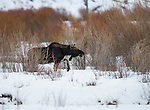 A bull moose that has recently lost his antlers walks through snow in a patch of willows near Soda Butte Creek in Yellowstone National Park in Wyoming, USA, on Feb 9Th 2015.  Photo by Gus Curtis.