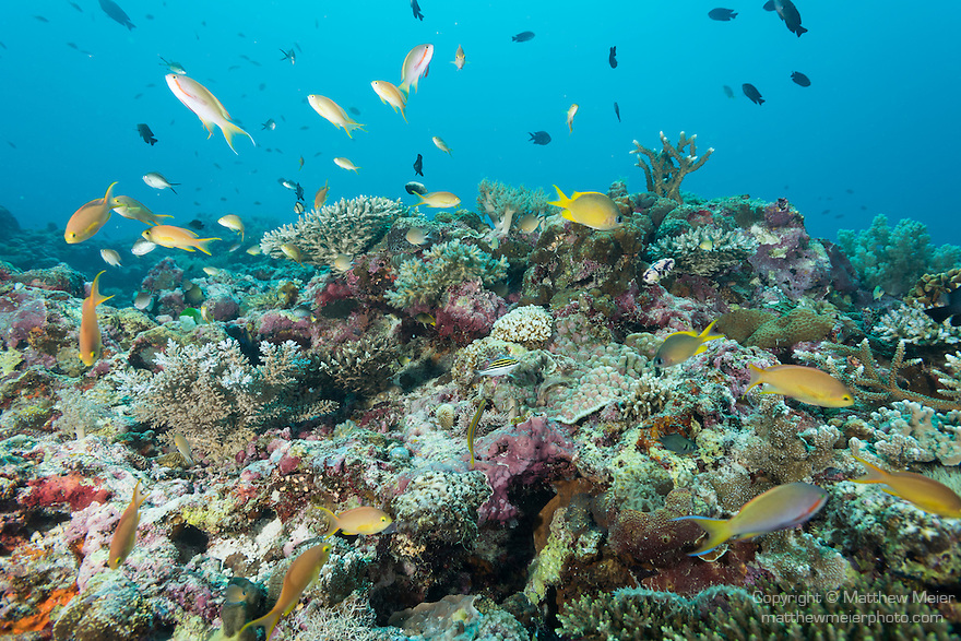 Malapascua Island, Cebu, Philippines; Anthias and reef fish swimming above hard corals at the top of a wall