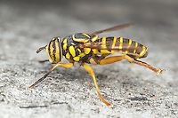 A male Syrphid Fly (Spilomyia longicornis) perches on the side of a tree.