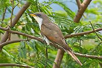 513580021 a wild adult yellow-billed cuckoo coccyzus americana perches in a tree on south padre island texas