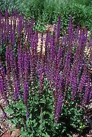 Salvia x sylvestris 'May Night' aka 'Mainacht'