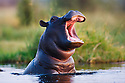 Hippopotamus (Hippopotamus amphibius) calf jumping out of water, yawning, Moremi Game Reserve, Okavango Delta, Botswana