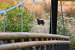 A black bear strolls through the Lincolnwood area in missoula, Montana