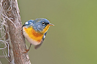 561000046 a wild male northern parula warbeler setophaga americana - was  parula americana perches in a small tree near boutin lake jasper county texas united states