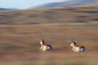 MY247  Pronghorn Antelope running (fastest land mammal in North America).  National Bison Range, Montana.  Fall.