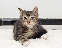 Sonic, a six week old male rescued cat, in Chelsea in New York on Tuesday, April 11, 2017.  (© Frances M. Roberts)