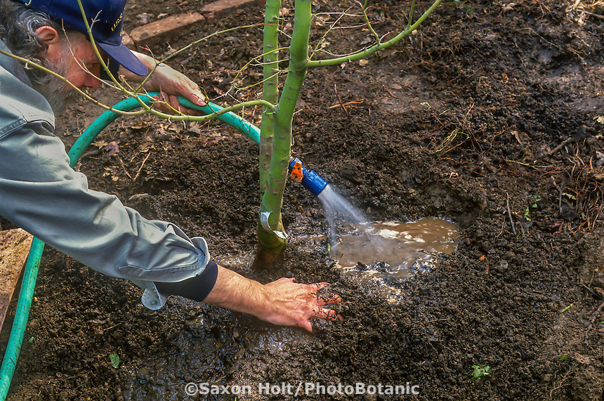 Gardener planting a tree - water in tree and firm in soil.