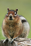 Portrait of a golden-mantled ground squirrel, Washington.
