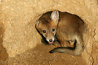 Red Fox (Vulpes vulpes) pup at den entrance, Normandy, France