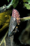 Red Admiral Butterfly, Vanessa atalanta, pupae or chrysalis hanging, ready to hatch, showing butterfly inside, red colour, stinging nettle food plant, metamorphosis.United Kingdom....