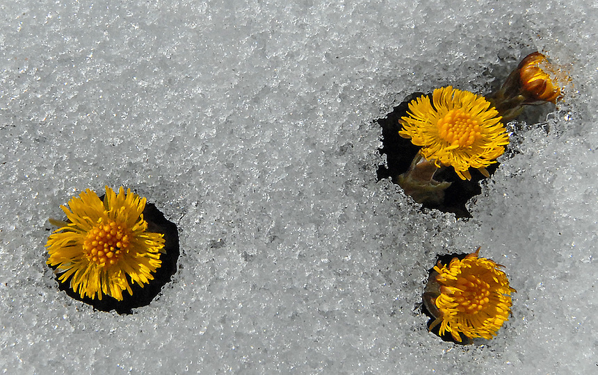 Tussilago farfara in snow