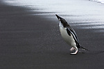 Chinstrap Penguin shaking off after leaving the ocean on Deception Island on the Antarctic Peninsula.