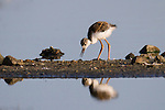 A black-necked stilt chick is reflected in still water as it looks for food along a narrow island