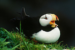 Horned puffin, Pribilof Islands, Alaska