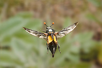 Carrion, Burying, or Sexton Beetle in flight (Nicrophorus carolinus)