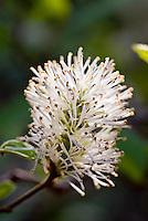 Fothergilla gardenii 'Blue Mist' in white spring blooms