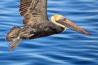A brown pelican in winter plumage flying over the blue sound at Wanchese NC.