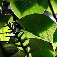 Tropical Rainforest Glasshouse (formerly Le Jardin d'Hiver or Winter Gardens), 1936, René Berger, Jardin des Plantes, Museum National d'Histoire Naturelle, Paris, France. Detail of cyathales frond amongst Myriocarpa leaves  in the midday light.